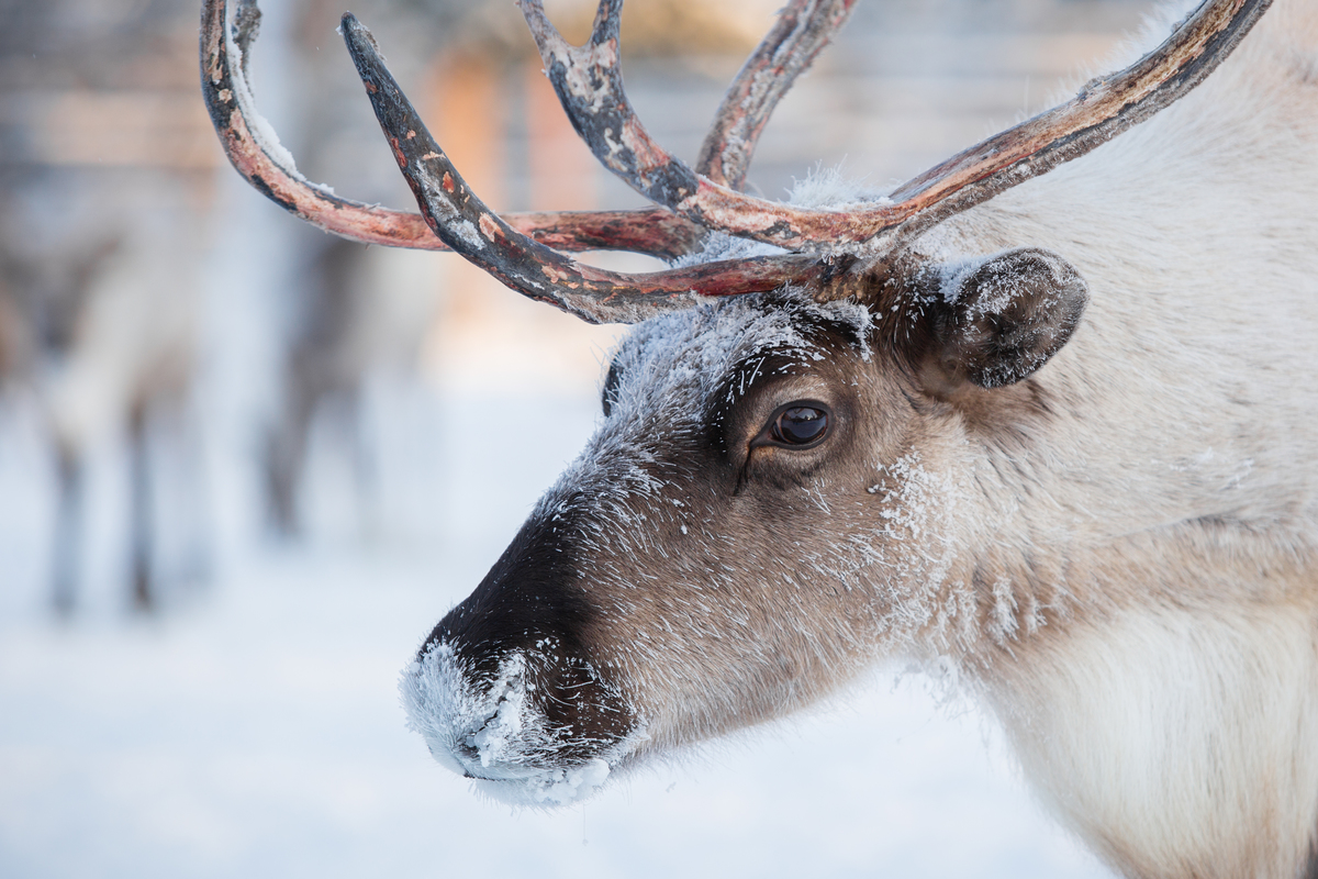 Reindeer of the Sopochin Family in Russia. © Alexey Andronov / Greenpeace