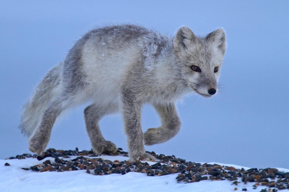 Arctic Fox. © Bernd Roemmelt / Greenpeace