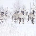Comment protéger les caribous de Val-d'Or en trois actions rapides