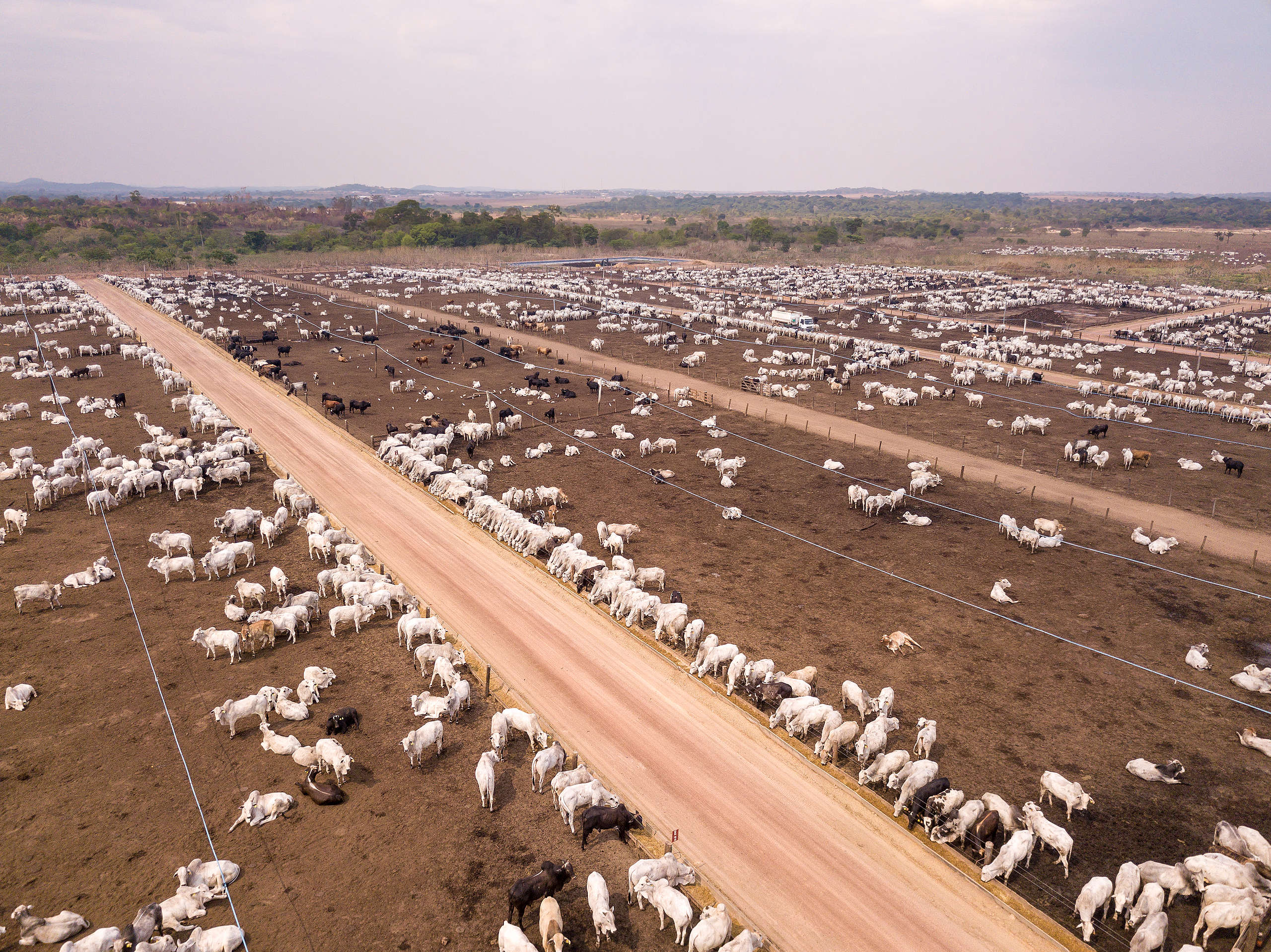 Cattle farming in the Amazon