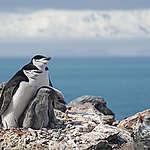 Antártica caliente: Colonias de pingüinos se redujeron más del 75% en 50 años