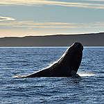10 datos clave sobre la ballena franca austral y por qué es importante proteger su hogar