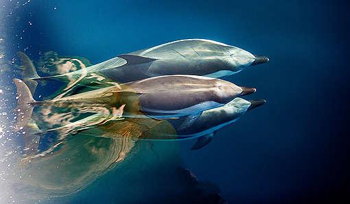 Dupini plivaju u blizini obale sjeverne Korzike.