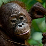 Výrobce sušenek Oreo a Miňonky ničí domovy orangutanů v Indonésii