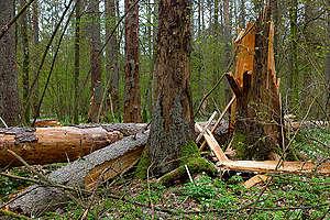 Białowieża Forest in Poland. © Adam Wajrak