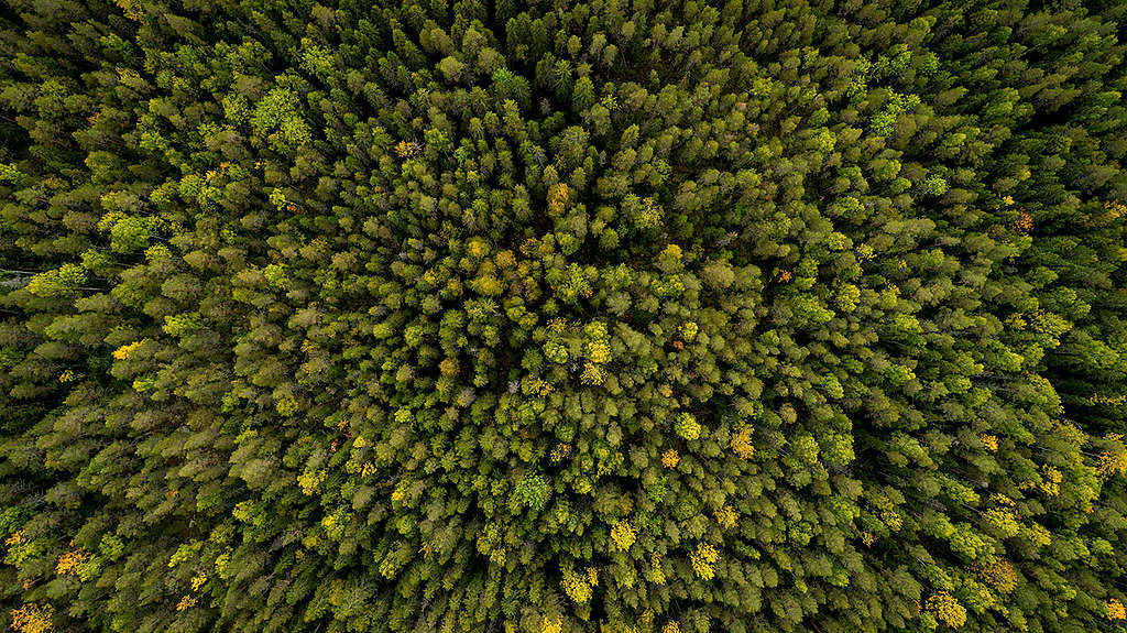 Forest West of Stor-Gravberget in Sweden. © Edward Beskow / Greenpeace
