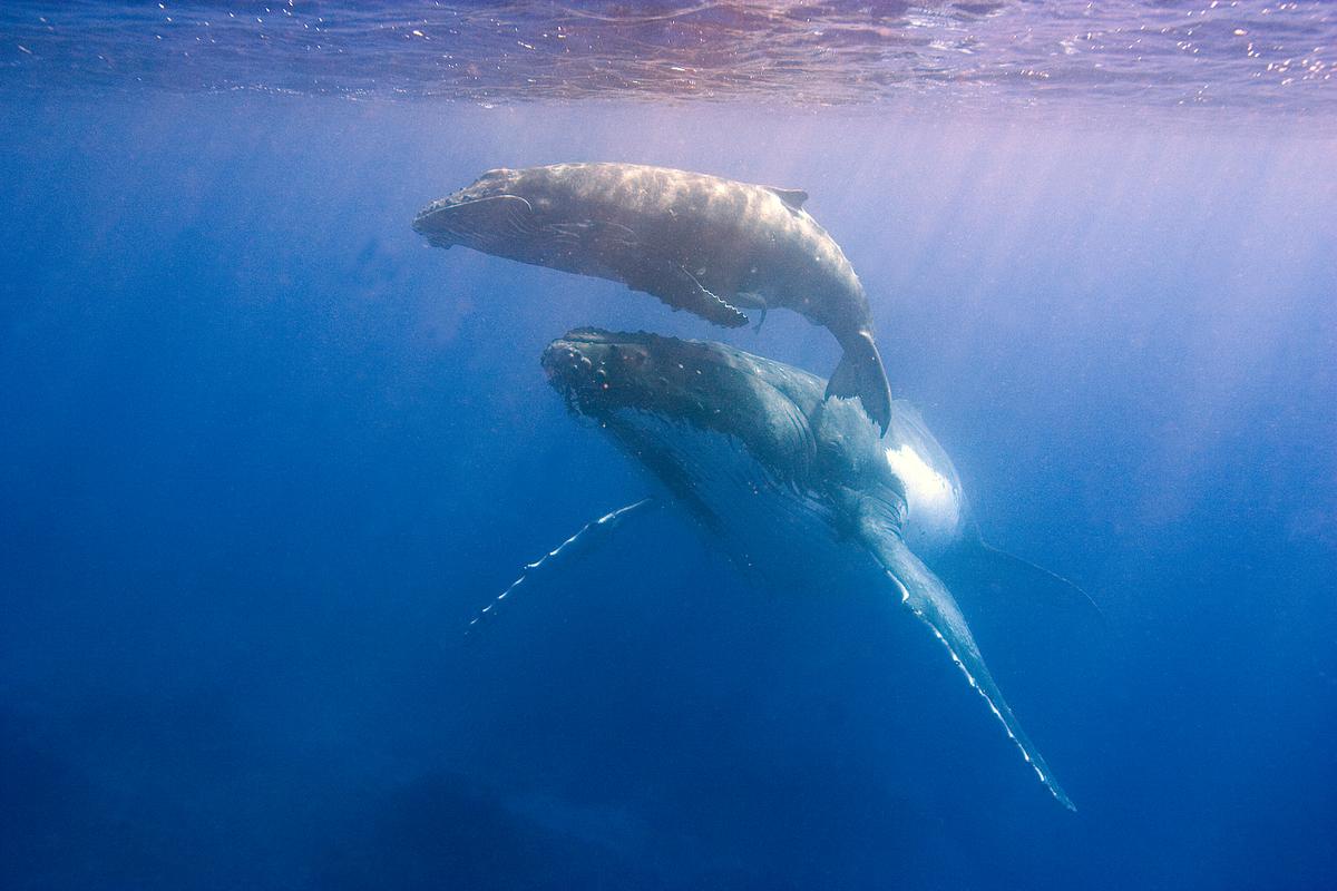 Humpback Whale Documentation (Kingdom of Tonga: 2003-2006). © Scott Portelli