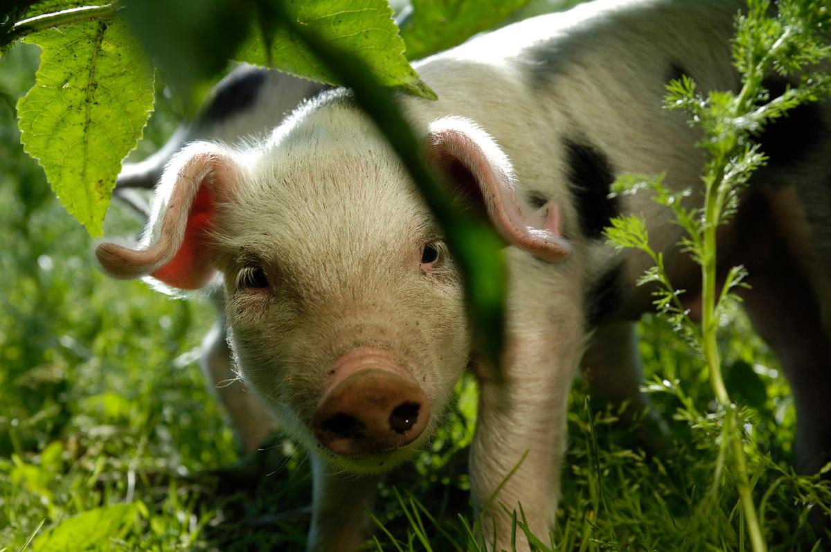 Piglet in Animal Park Arche Warder in Germany. © Sabine Vielmo