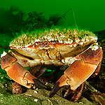 Crab in Kattegat. © Carlos Minguell