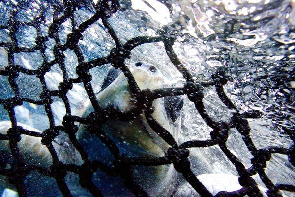 Seks ud af syv havskildpadder er truet af udryddelse. Titusinder mister hvert år livet som bifangst i tunfiskeriet.