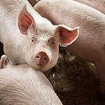 Danish Crown vil sende 250 tons svinekød til Kina hver uge – Danmarks natur og miljø betaler prisen