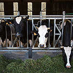 5 grunde til færre køer og svin