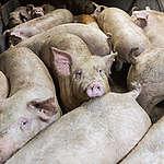Skal EU virkelig poste 200 milliarder kroner i klimaskadelig kødproduktion?
