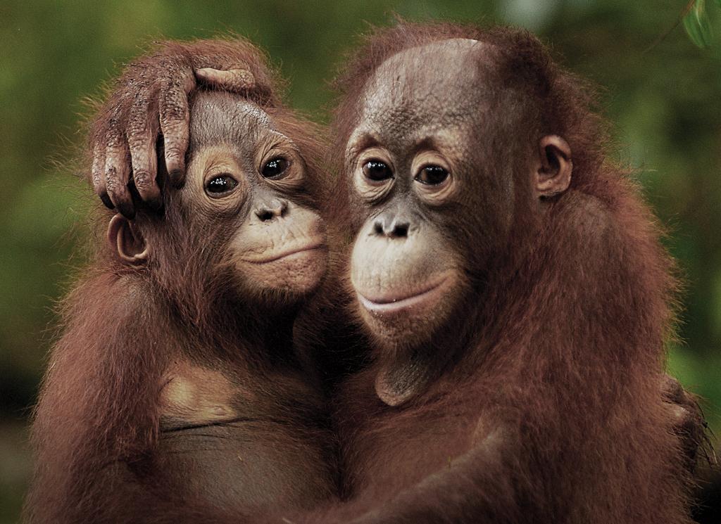 Vi mennesker lægger et enormt pres på biodiversiteten og bl.a. orangutangen er truet og i fare for at uddø.