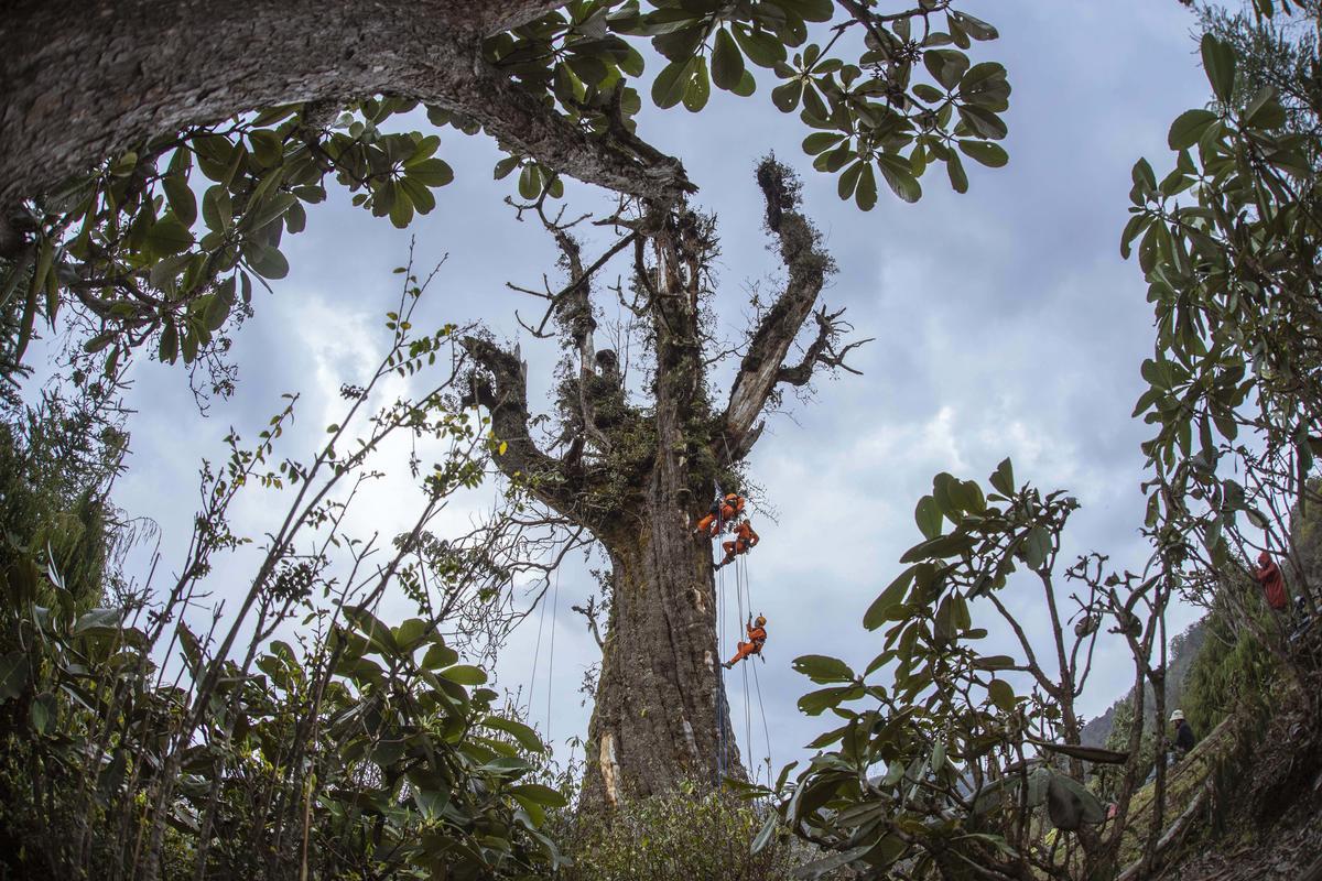 Ancient Himalayan Hemlock Trees in Yunnan, China. © Yan Tu / Wild China / Greenpeace