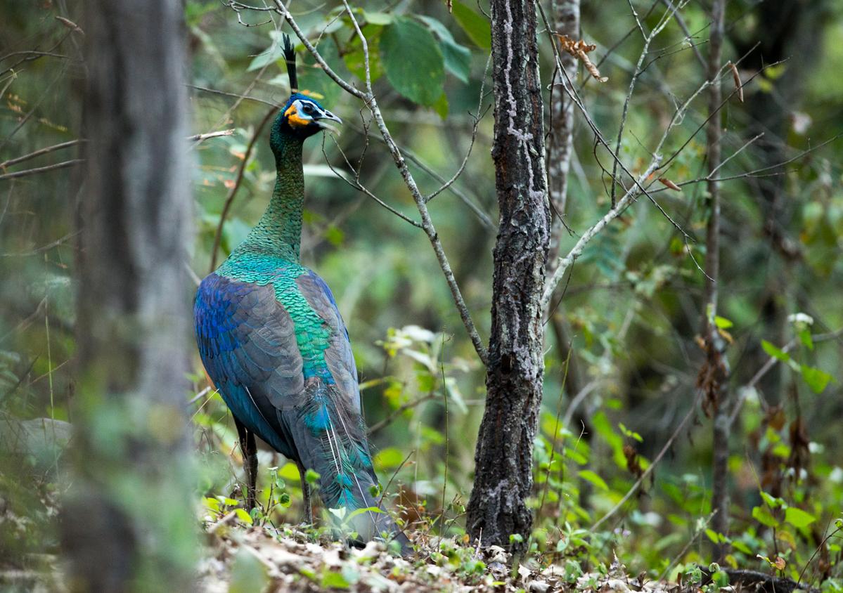 Wild Green Peafowl in Yunnan. © Zhinong Xi / WildChina
