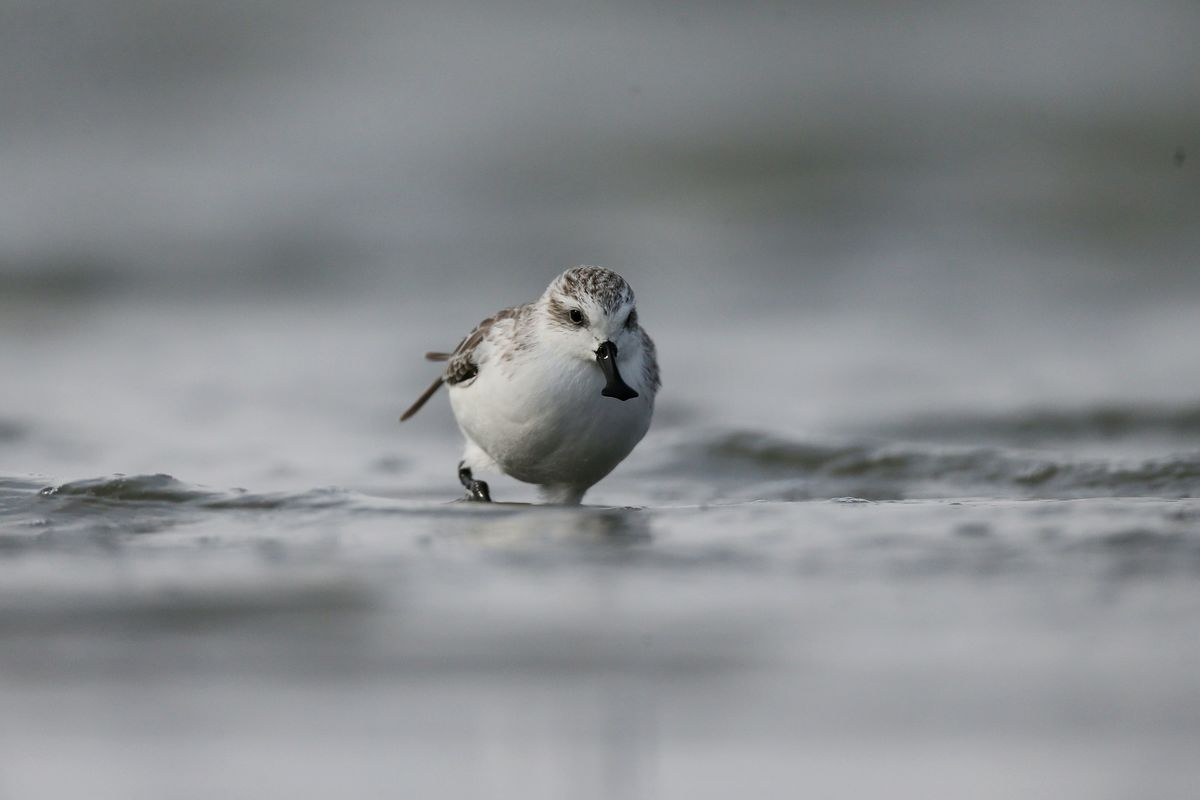 Spoon-billed Sandpiper in Jiangsu Province, China. © Dongming Li