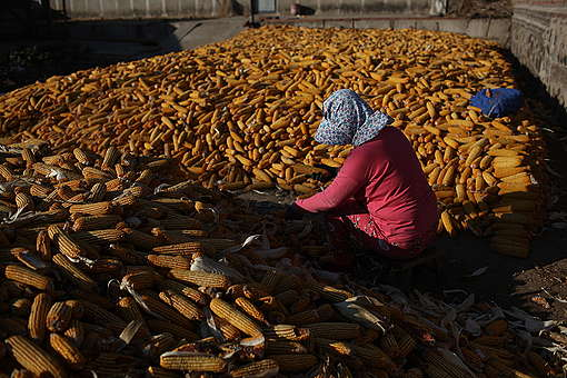 Illegal GE Corn Cultivation Investigation in Northeast China. © Ma Longlong / Greenpeace