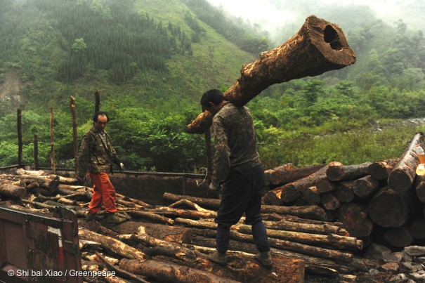 Greenpeace – 3200 acres of forest illegally felled in Sichuan World Heritage Site