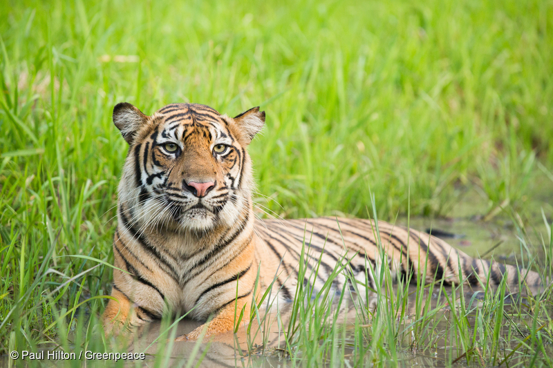 asian forest food web tiger