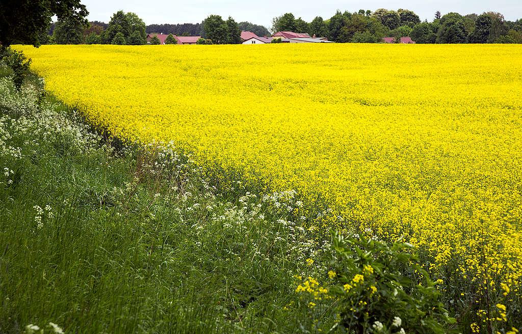 Rape Field in Full Bloom in Germany. © Paul Langrock / Greenpeace