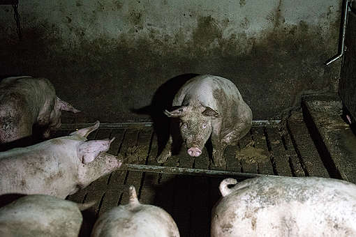 Pigs in Factory Farming in Germany. © Greenpeace