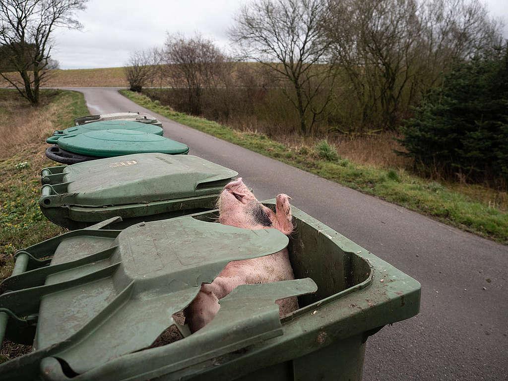 Kuollut sika roskakorissa Tanskassa