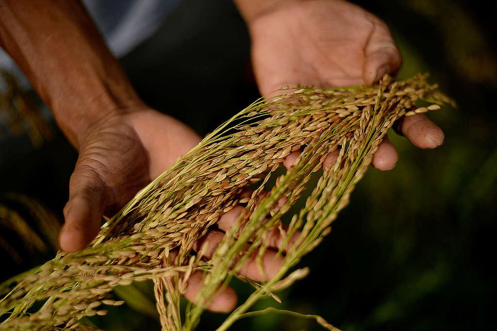Ecological Agriculture Farm in Sorsogon. © Nathaniel Garcia / Greenpeace