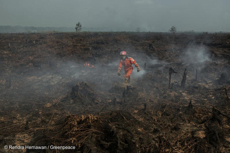 A volunteer of Greenpeace Forest Fire Prevention team walks on a burning peatland inside the area palm oil concession of PT Sumatera Unggul Makmur (SUM) at Punggur Kecil village, Sungai Kakap sub-district, Kubu Raya district, Pontianak, West Kalimantan on 22 August 2018. The FFP team deployed on the area for fire suppression and investigation.