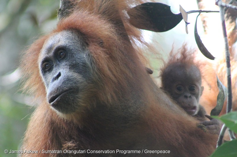 A handout photo from Sumatran Orangutan Conservation Programme (SOCP) shows a female and her baby of new species Orangutan from Tapanuli (pongo tapanuliensis) in Tapanuli, North Sumatra. Researchers have announced the discovery of a new species of orangutan in the north of Sumatra Island. The Tapanuli orangutan (Pongo tapanuliensis) is the first new addition in almost a century to the small club of great apes, joining its fellow Sumatran and Borneo orangutans.