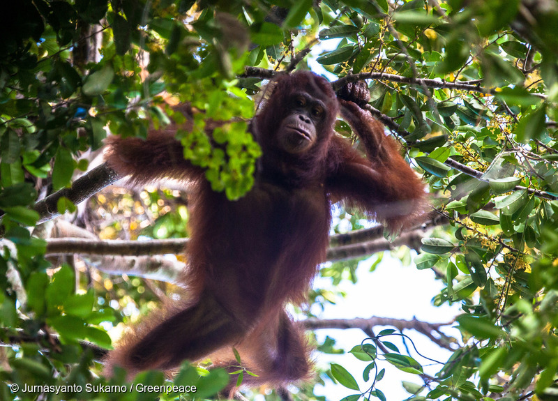 A female wild Orangutan, Rosa, looking for fruits in her natural habitat in Gunung Palung National Park, West Kalimantan. Gunung Palung is a protected area as a natural habitat of Orangutan in West Kalimantan. Some Orangutan's habitat in this province threat by deforestation and forest fires that caused by palmoil concessiion.