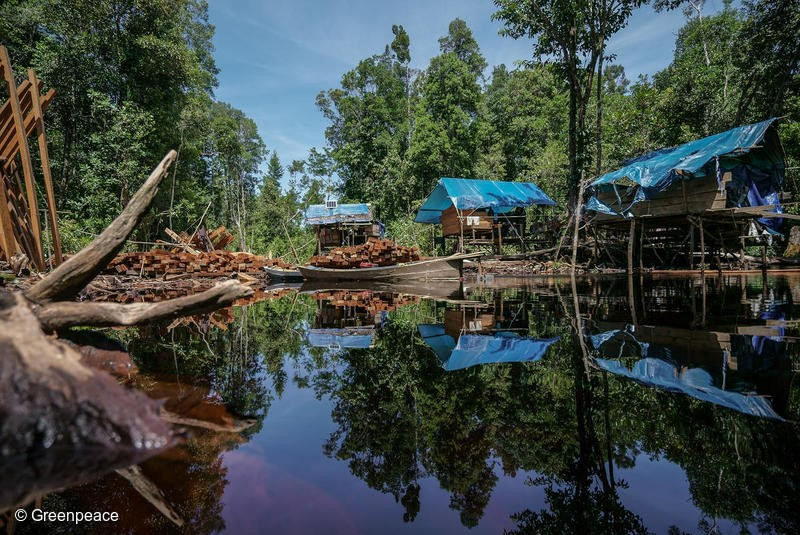 Pooling area for processed woods and also camp for illegal logger inside PT MPK concession in Sungai Putri landscape, Ketapang, West Kalimantan. Putri landscape, Ketapang, West Kalimantan.