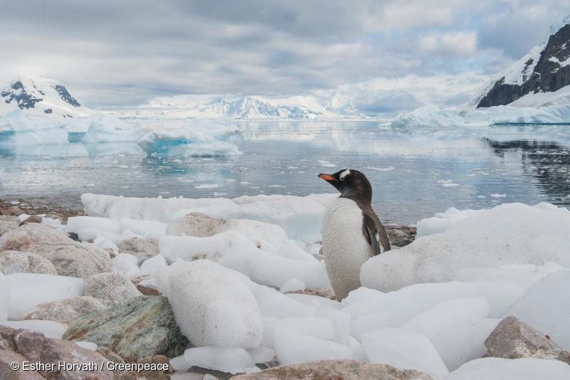 Gentoo penguin in Neko Harbour, The Antarctic. February 16, 2018, The Antarctic, Esther Horvath