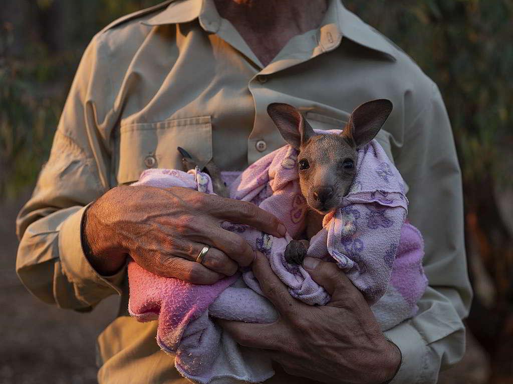 Kangaloola野生動物庇護所成員Chris Lehmann懷裡的小袋鼠名叫Smokey,是今次澳洲山火的倖存者之一。 © Alana Holmberg / Greenpeace
