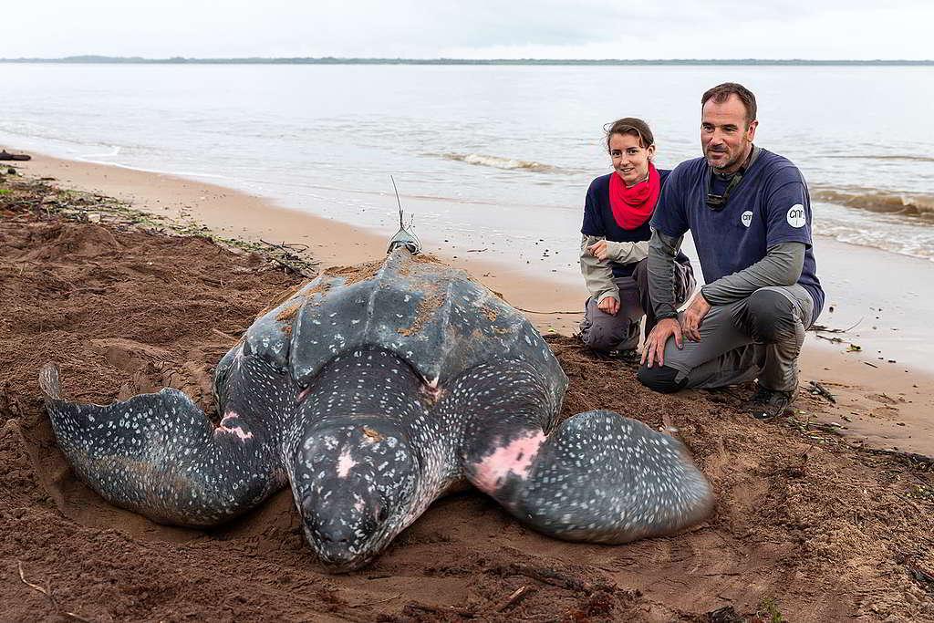 法國海龜專家Damien Chevallier及團隊成員在稜皮龜背上安裝追蹤器。© Jody Amiet / Greenpeace