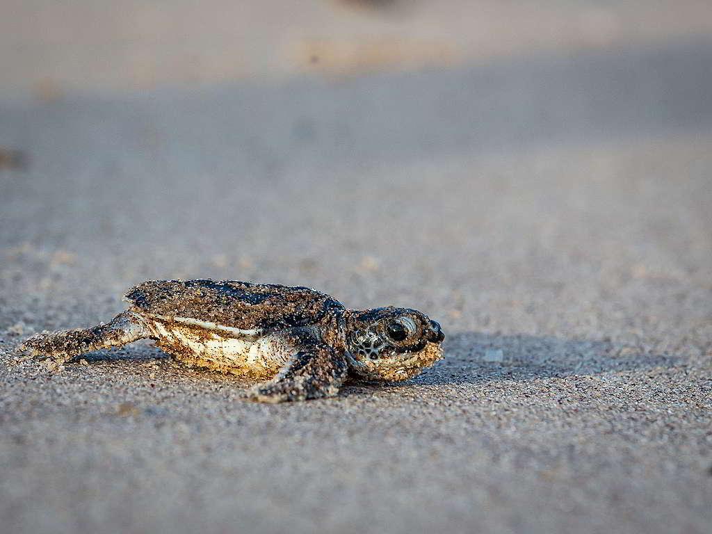 剛在法屬圭亞那沙灘上孵化的稜皮龜寶寶,奮力向大海衝刺。 © Jody Amiet / Greenpeace