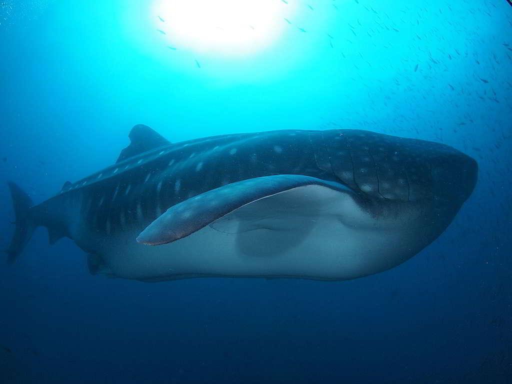Stephen最難忘潛點是位於赤道附近、能一睹鯨鯊面貌的加拉帕戈斯群島(Galápagos Islands),即使要長途跋涉取道南美洲抵埗,仍希望來日有緣第三次造訪。 (照片由受訪者提供)