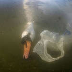 Mute Swan and Plastic Bag in UK. © Jack Perks / Greenpeace