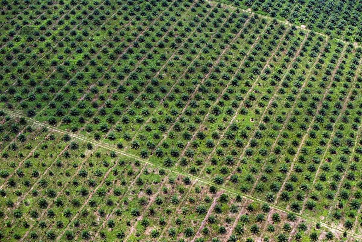 Pálmaolaj-ültetvény Kongóban. © Daniel Beltrá / Greenpeace