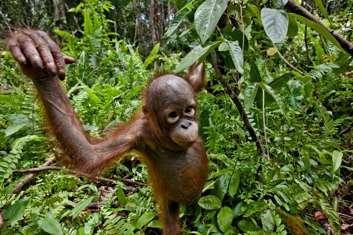 Orángután Indonéziában © Ulet Ifansasti / Greenpeace
