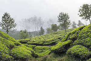 View of Letchmi Tea Estate near Munnar. © Vivek M.