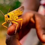 Government must deal with locust plague as a priority