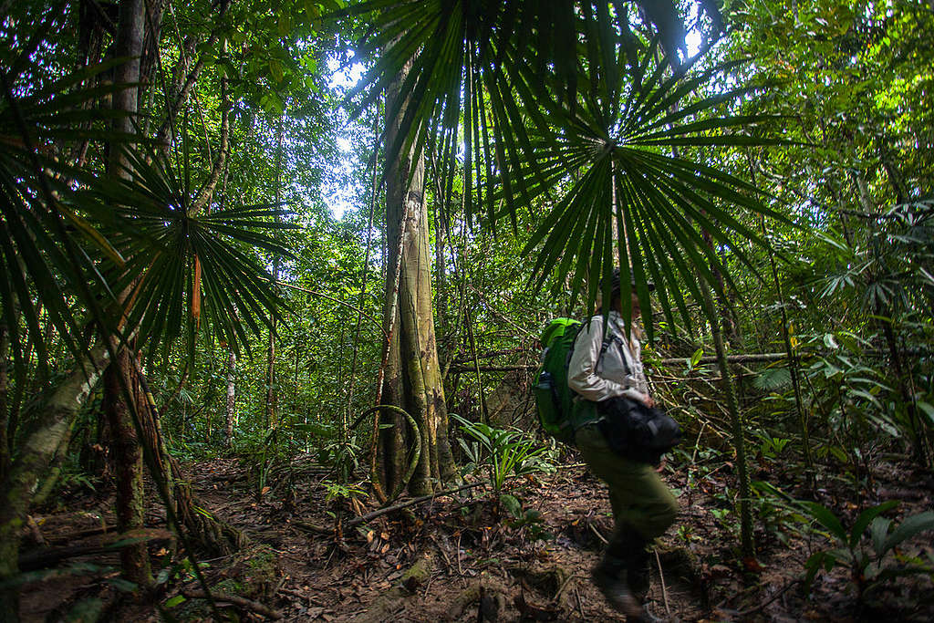 Rainforest in West Papua. © Jurnasyanto Sukarno / Greenpeace