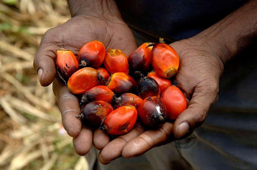 Palm Oil Fruit in Popondetta. © Greenpeace / Peter Solness