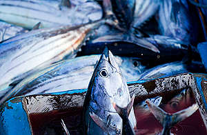 Skipjack Tuna in Indonesia. © Paul Hilton