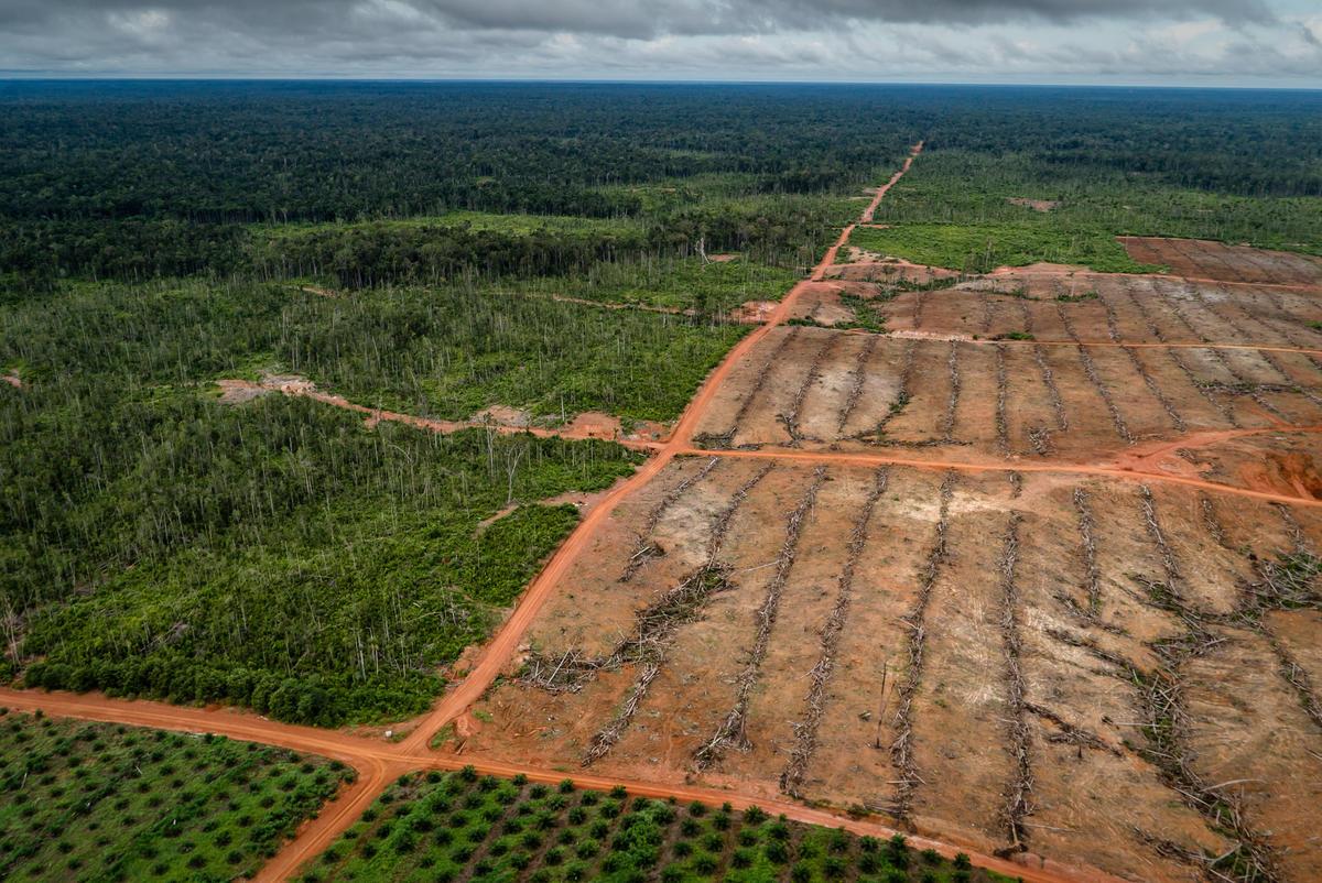 PT Papua Agro Lestari (PT PAL) Oil Palm Plantation in Papua. © Ulet Ifansasti / Greenpeace