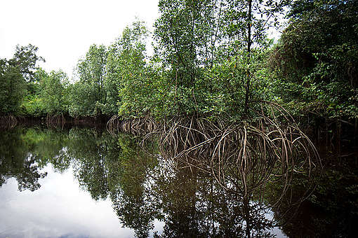 Mangrove Forest in French Guiana. © Elsa Palito / Greenpeace