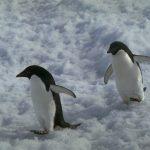Adelie Penguins in Commonwealth Bay © Greenpeace / Steve Morgan