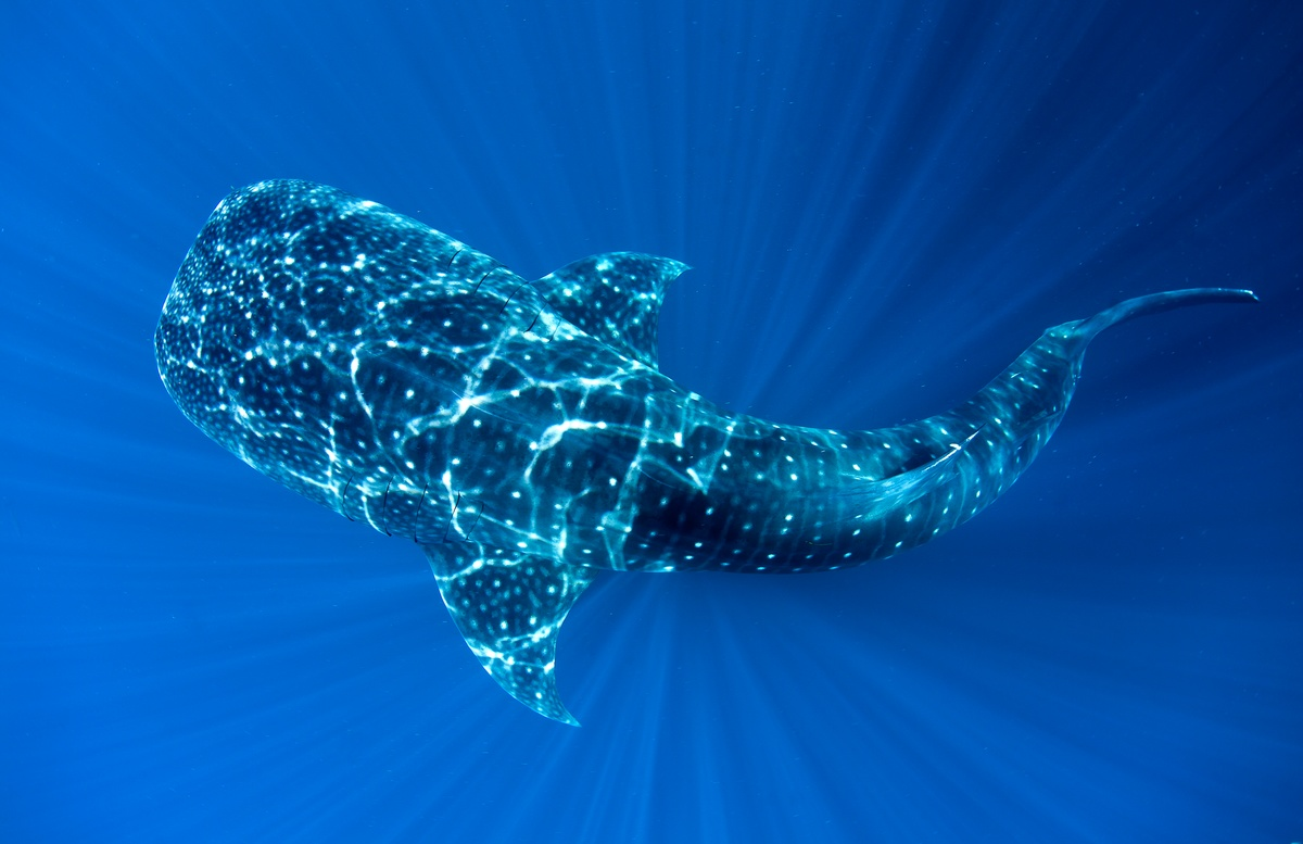 Whale Shark in Cenderawasih Bay © Paul Hilton / Greenpeace