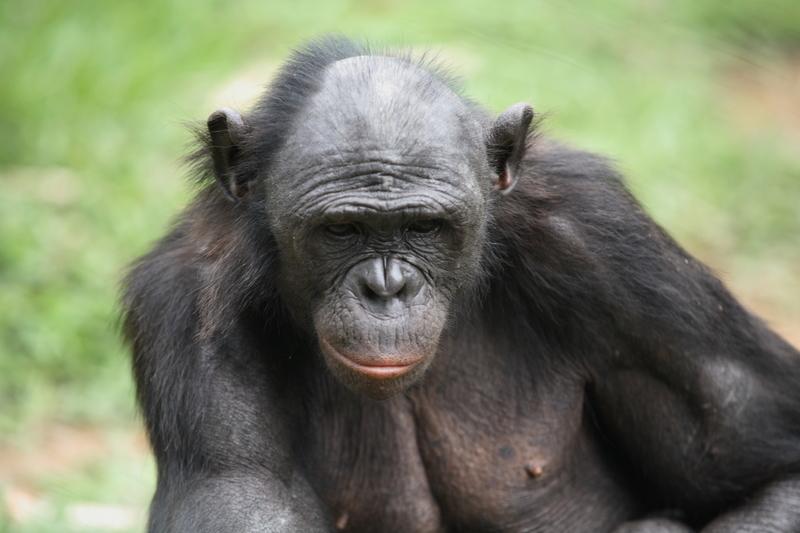 Bonobo in a Kinshasa rehabilitation centre © Greenpeace / Kate Davison